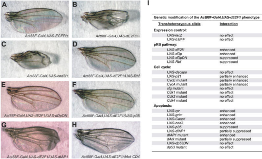 Genetic Characterization of a Recombinant Act88F-Gal4,UAS-dE2f1 Transgenic StockVarious alleles were analyzed for modification of the dE2f1-dependent phenotype in trans. The wild-type wing phenotype is depicted in Act88F-Gal4,UAS-EGFP/+ (w1118) recombinant stock as control (A). The Act88F-Gal4,UAS-dE2f1/+ (w1118) recombinant stock phenotype (B) is strongly phenocopied by caspase expression (C). Coexpression of Rbf (D) or dDpDN (E) completely suppressed the dE2f1 phenotype. The dE2f1-dependent phenotype was also suppressed by various apoptotic regulators including coexpression of the caspase inhibitor baculovirus p35 (F) or dIAP1 (G) or a heterozygous dominant allele of dArk (H), the Drosophila APAF1 homolog.(I) Summary of the genetic interactions with Act88F-Gal4,UAS-dE2f1. The Act88F-Gal4,UAS-dE2f1 recombinant chromosome was crossed at 25 °C to various transgenic and mutant alleles and phenotypes analyzed in transheterozygous progeny. Modification of the dE2F1 phenotype was compared relative to control chromosome w1118. See Materials and Methods for mutant alleles used in this study.