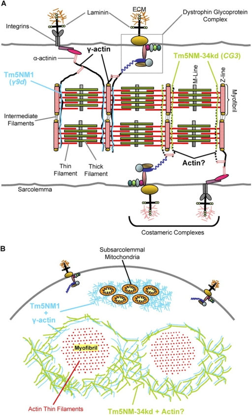 Schematic representation of NS Tm localization in skeletal muscle. Depicted are myofibers in longitudinal (A) and transverse section (B) showing the location of the NS Tms and γ-actin in relation to the major structures in skeletal muscle. (A) In the longitudinal representation, two main membrane/cytoskeletal junctions are depicted: (1) integrin-based focal adhesions and (2) the dystrophin glycoprotein complex. Hypothesized tropomyosin-associated γ-actin networks that link the sarcomeric arrays to the costamere are shown as black lines. Other filaments linking the M-line and Z-line to the membrane are not depicted. The results of this study suggest that the NS tropomyosins recognized by the γ9d and CG3 antibodies (Tm5NM1 and Tm5NM-34kd, respectively) are located adjacent to the Z-line in the sarcomeric space. Data suggest that Tm5NM1 associates with a γ-actin whereas the actin (broken black line) interacting with Tm5NM-34kd was not defined. Note that although α-actinin (pink) is only shown cross-linking γ-actin filaments, its main location is in the Z-line linking sarcomeric actin thin filaments from adjacent sarcomeres. (B) In the transverse representation, Tm5NM1 (blue) and Tm5NM-34kd (green) are shown in the intermyofibrillar space, the former in association with a γ-actin and the later with an unknown actin filament system. Also shown is Tm5NM1/γ-actin filaments at the subsarcolemmal region, a space also occupied by mitochondria. The data suggests that the Tm5NM1 filaments are in all adult fibers, whereas the Tm5NM-34kd structure is restricted to specialized subset of fibers. The ectopic Tm3 localizes to the Z-line–associated γ-actin cytoskeleton and results in muscular dystrophy and ragged-red fibers.