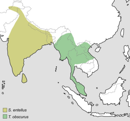Distribution of the genus Semnopithecus and Trachypithecus [obscurus]. Genus affiliations and species groups after Groves [4].