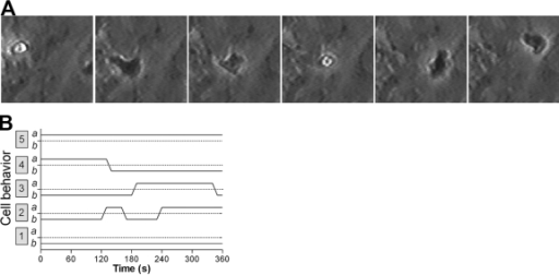 The migration behavior of individual lymphocytes over a 6-min period for HUVEC treated with TNF + IFN. (A) Video micrographs of a lymphocyte migrating from above the endothelial monolayer (phase-bright) to underneath (phase-dark), back to the top, and then under again. (B) Schematic representation of typical lymphocyte migratory behaviors. Individual cells were tracked over a 6-min period. Positions above (a) or below (b) the HUVEC monolayer are plotted for five cells: Cell 1 stayed above the monolayer, and Cell 5 stayed below. The others made one or more transits between the compartments. Similar behaviors were seen for HUVEC treated with TNF or IFN separately.