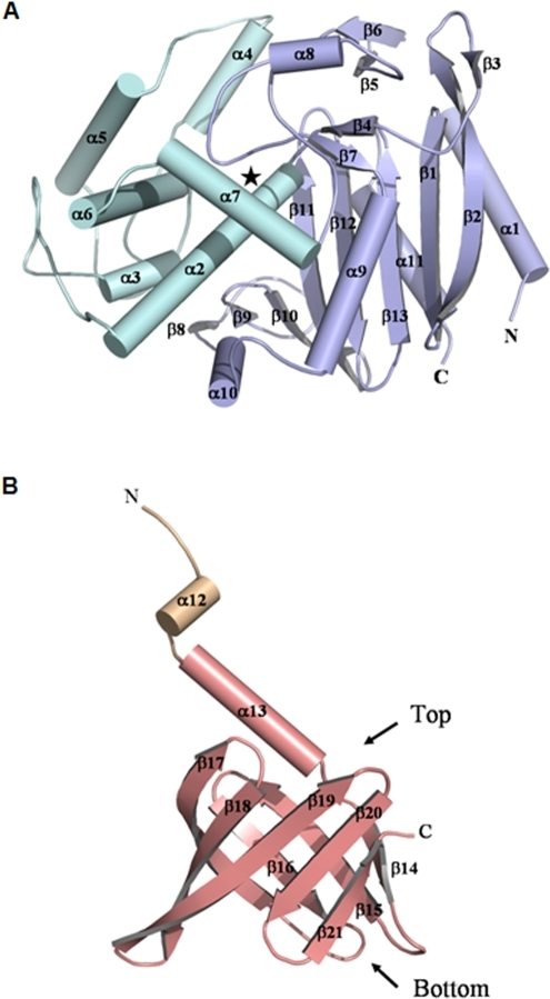 Secondary structure assignationfor A, the N- and B, the C-terminal domains of the P. abyssi Pab87 monomer, color coded according to Figure 1 (the PRP α/β and all-helical regions are in light blue and cyan, respectively, the linking helix in light orange and the lipocalin domain in salmon). The active site is located by a star in (A).
