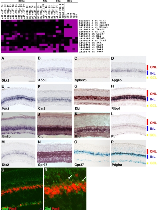 Section in situ hybridization of genes enriched in single Müller glia. Top: Heatmap of Müller glia enriched genes. A–N: ISH signal of candidate Müller glial transcripts on mouse retinal sections. Gene name is as indicated. Probes used are listed in the supplementary data. O: Xgal histochemistry on GPR37tm1Dgen retinal sections. P: Recombinase-dependent nuclear lacZ expression in Müller glial cells of Pdgfra-Cre; RC::PFwe retinal sections. Q: Immunohistochemistry on mouse retinal sections with anti-Pax6 (red) and anti-Glul (green) antibodies. R: Digital magnification of image shown in Q. RGCs, retinal ganglion cells; ACs, amacrine cells; PRs, photoreceptors; MGs, Müller glia cells; ONL, outer nuclear layer; INL, inner nuclear layer; GCL, ganglion cell layer. See Supplemental Figure S3 for magenta-green versions of Q and R. Scale bar = 50 μm in A (applies to A–P); 20 μm in Q.