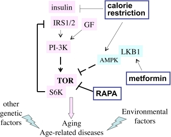 The TOR intracellular signaling pathway. Nutrients, GF (growth factors)                                            and insulin activate the TOR pathway, which is involved in aging and                                            age-related diseases. Other genetic factors and environmental factors                                            (e.g., smoking) contribute to specific age-related diseases. Three                                            potential anti-aging modalities (metformin, calorie restriction and                                            rapamycin) all inhibit the TOR pathway.
