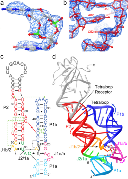 Overall structure of the c-di-GMP riboswitch. (a) Unbiased /Fo/-/Fc/ electron density corresponding to the bound c-di-GMP before it was included in the crystallographic model, superimposed on the refined model of the ligand (map contoured at 3.0 s.d.) (b) Portion of a composite simulated annealing-omit 2/Fo/-/Fc/ Fourier synthesis42 calculated with the final crystallographic model, contoured around A82 at 1.5 s.d. (c) Schematic representation of the structure of the riboswitch bound to c-di-GMP. Thin black lines with arrowheads depict connectivity, dashed green lines, long-range stacking interactions, and the red line the inter-helical base pair. Leontis-Westhof symbols43 depict non-canonical base pairs. Except for the U1A binding site, the numbering scheme is that of ref. 6, which is used throughout. (d) Cartoon representation of the three-dimensional structure. Color coding as in (c). The U1A-RBD is shown as a gray ribbon.