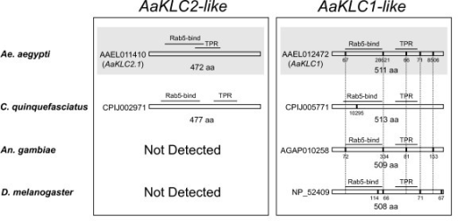 Coding sequence structure and domains of kinesin light chain genes of mosquitoes and D. melanogaster. On the left are the AaKLC2-like genes and on the right are the AaKLC1-like genes. Vertical bars show location of introns and intron size is given below bars. Note conservation of gene structure (vertical lines show conservation of intron position). Intron sizes are shown as number of bases and are given below vertical bars. Rab5-bind, Rabaptin 5-binding domain. TPR, tetratricopeptide repeat domain. Shaded parts indicate those genes that have been analyzed by RT-PCR and Illumina transcriptome profiling (only AaKLC2.1 is shown). Predicted introns are taken from Vectorbase.org and Ensembl.org.