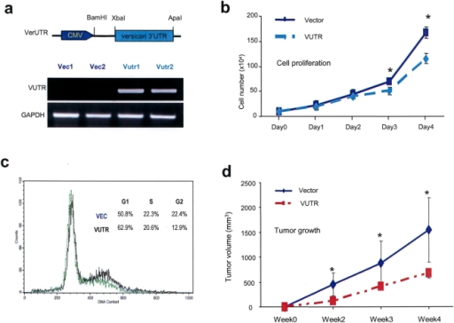 Expression of versican 3′UTR reduces cell proliferation and tumor growth.(a) Mouse breast carcinoma cells 4T1 was transfected with a fragment of versican 3′UTR (700 bp) or a control vector. Pooled cells were obtained. RNA was isolated from the pooled cells and the expression of 3′UTR was confirmed by RT-PCR. (b) Cell proliferation assays were performed in cells transfected with the control vector or the 3′UTR in low serum conditions (1.5% FBS) by cell counting after trypan blue staining. *, P<0.05. Error bars indicate SD (n = 5). (c) Cell cycle analysis by FACS confirmed that the vector-transfected cells had greater population of G2/M cells than the VerUTR-transfected cells. Representative data is shown. (n = 3). (d) The cells were injected subcutaneously into BALB/c mice. Tumor size was recorded weekly and tumor growth curve was obtained for a period of four weeks. Asterisks indicate significance. *, P<0.05. Error bars indicate SEM (n = 3).