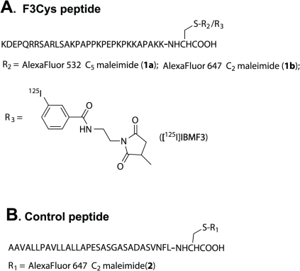 Fluorescent- and [125I]-labeled F3Cys Analogs.Structures of fluorescent and radioiodinated F3Cys and control peptide analogs investigated in this study (for details see text).