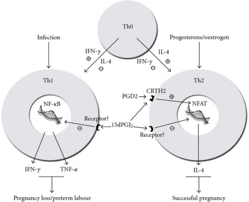 Schematic proposal of the Th1 and Th2 balance and the role of CRTH2 and NF-κB. T-helper cell precursors are directed toward committed immunophenotype by the typical Th1 and Th2 interleukins, IFN-γ and IL-4, respectively. Infection or propregnancy hormones such as progesterone can further modulate the Th1/Th2 bias. Based upon our findings and those of others, we propose that 15dPGJ2 maintains a Th2 bias principally through the suppression Th1 interleukins through the inhibition of NF-κB.