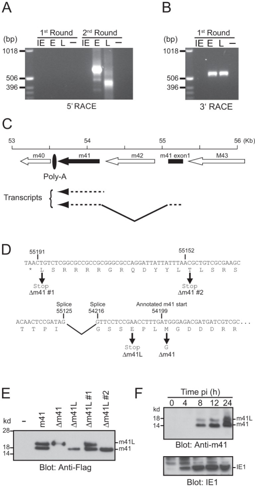 Genomic arrangement and analysis of the m41 locus.RNA isolated from MCMV infected fibroblasts at IE, E and L times post-infection was subjected to (A) 5′ RACE or (B) 3′ RACE analysis. The resulting products were separated on 1% agarose gels. (C) The genomic region of MCMV encompassing the annotated m41 ORF (solid arrow), the newly identified 41 exon (solid box), and adjoining ORFs (open arrows) is shown. Direction of transcription is indicated by the orientation of the arrows. Location of the common polyadenylation site used by all genes in this region is denoted by the filled oval. (D) Sequence of the annotated m41 ORF is shown. The annotated m41 translation start site and the location of splice acceptor and donor sites are shown above the DNA sequence. Location of mutations within the m41 ORF are shown below the DNA sequence. (E) The indicated m41 constructs were transiently overexpressed in Cos-7 cells, total cell lysates prepared and expression of the m41 and m41L proteins detected by immunoblot using anti-flag antibodies. (F) Total cell lysates were prepared from fibroblasts infected with MCMV at the indicated time pi and the expression of m41, m41L, and IE1 proteins detected by immunoblot.