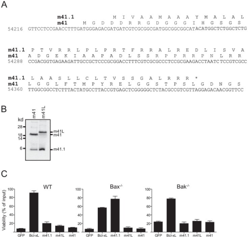m41.1 encodes a Bak-specific inhibitor.(A) The predicted amino acid sequences of m41 and m41.1 in the K181-Perth MCMV strain are shown. (B) In vitro transcription/translation reactions using cDNA constructs encoding m41 or m41L were performed, the resulting protein products were separated by SDS-PAGE and detected by autoradiography. (C) Fibroblasts derived from WT, Bax- or Bak-deficient mice were infected with retroviruses encoding the indicated proteins. Cells were treated with 10 µM staurosporine for 24 hr and cell viability assessed. (n = 6).
