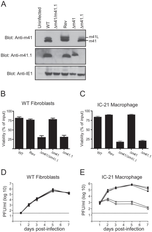 In vitro analysis of m41 mutant viruses.(A) Fibroblasts were infected with WT, Rev or the indicated MCMV mutants and total cell lysates prepared 24 hr later. Immunoblot analysis was performed using antibodies specific for m41, m41.1 or IE1 as indicated. (B) Fibroblasts were infected with the indicated viruses (MOI = 3) and 18 h later 100 µM etoposide added. Cell viability was quantified by Trypan Blue exclusion 24 hr after the addition of etoposide (n = 6). (C) IC-21 macrophages were infected with the indicated viruses (MOI = 3) and cell viability assessed 48 hr later (n = 8). (D) Fibroblasts or (E) IC-21 macrophages were infected with WT MCMV (filled square), Rev (filled circle), Δm41 (open circle), Δm41.1 (cross) or Δm41/m41.1 (open diamond) (MOI = 0.05 for fibroblasts and MOI = 0.5 for IC-21) and viral replication measured at the indicated times pi (n = 6 for fibroblasts and macrophages). Dotted line indicates the limit of detection of the assay.