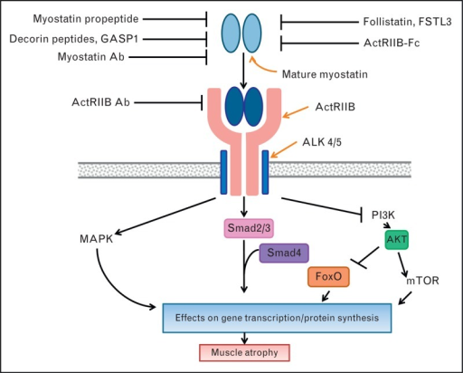 Summary of therapeutic invention points in the myostati ...