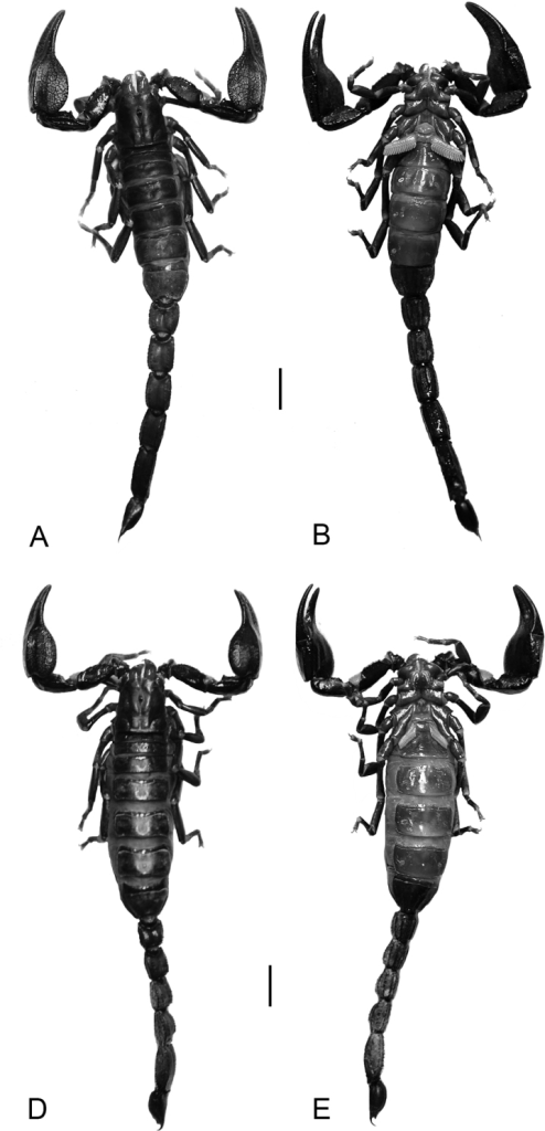 Diplocentrus franckei sp. n., habitus, dorsal (A, C) and ventral (B, D) aspect. A, B. Holotype ♂ (CNAN) C, D Paratype ♀ (CNAN). Scale bars = 5 mm.