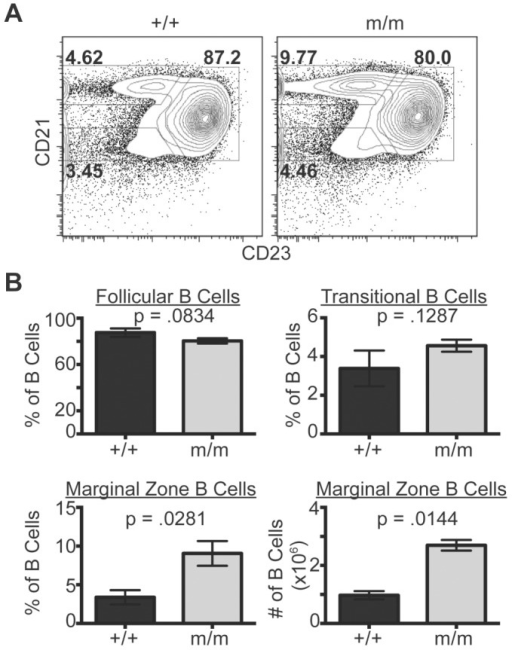 Marginal zone B cells are increased in NIAMm/m mice.Flow cytometric analyses of splenic B cell development. Splenic B cells were isolated from young, 6 month old tumor-free wild-type (+/+) and NIAM mutant (m/m) mice (three of each genotype). A. Representative flow cytometry plots of NIAM wild-type versus m/m IgM positive splenocytes. Transitional (CD21lo/CD23-), follicular (CD21+/CD23+) and marginal zone (CD21hi/CD23-) B cells are identified. B. Average frequency of follicular (top left), transitional (top right), and marginal zone (bottom left) B cells from mice of the indicated genotypes. Average marginal zone B cell numbers are also shown (bottom right). All p values were calculated using unpaired, two-tailed Student's T tests.