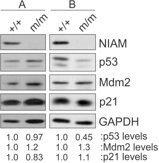 NIAM is not required for basal p53 activity in splenic B cells.Splenic B cells from young, tumor-free wild-type NIAM+/+ or NIAMm/m homozygous mutant mice were isolated and expression of endogenous NIAM, p53, Mdm2 and p21 proteins was assessed by western blotting. Relative levels of p53, Mdm2 and p21 (normalized to GAPDH loading and compared to the untreated, wild-type control sample) were determined following quantification of bands using Image J. Representative results from 4 of 5 pairs of mice (both 8 week and 6 months of age) are shown in Set A, while Set B shows data for one pair of 6 month old mice. Set A and B samples were analyzed on separate gels, and lanes within each set were spliced together from the same autoradiogram for image clarity.