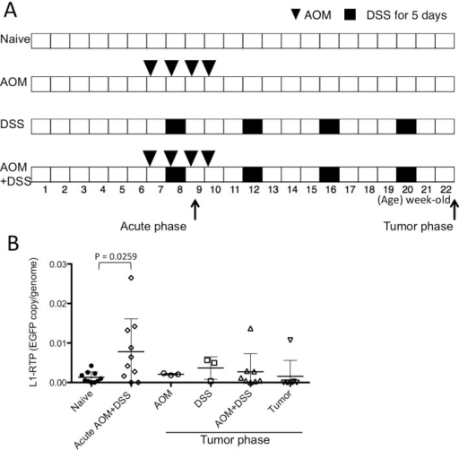 "L1-RTP levels in AOM+DSS colitis mouse model.(A) Schematic time schedule of the AOM+DSS colitis mouse model. Arrows indicate the time-points associated with the acute inflammatory and tumor phases for harvesting the colon tissues and/or tumors. (B) L1-RTP levels were analyzed with genomic DNA extracted from whole distal colon tissues and/or tumors. The EGFP copy/genome was calculated by using ß-actin as internal control. Samples labeled ""Acute AOM+DSS"" were obtained during the acute phase in panel A, and others were collected during the tumor phase. AOM+DSS indicates residual colon tissue after removing visible tumors. Data were shown as mean ± SD. P values were calculated with an unpaired two-tailed t test."