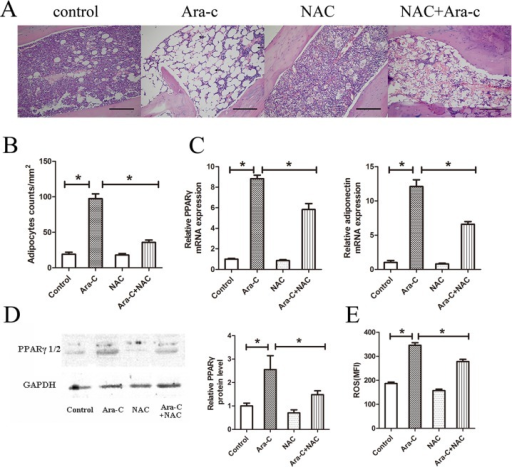 NAC diminishes adipogenesis induced by Ara-C in vivo.(A) BM section of the tibia from four groups on Day 7. Scale bar = 200 μm. (B) Adipocyte counts per mm2 in tibia BM sections. (C) Gene expression of PPARγ and adiponectin in the long bone BM on Day 7. (D) Western blot analysis of PPARγ protein on Day 7 of treatment in the long bone BM. (E) Mean fluorescence intensity of ROS in mouse BM-derived MSCs. ROS was quantified by FACS using the CM-H2DCFDA probe. *P < 0.05.