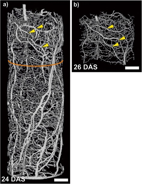MRI and CT images of a bean root system in a large pot. The same plant grown in a soil filled pot with an I.D. of 81 mm and a height of 300 mm was imaged sequentially with MRI and CT. (a) MRI image shows the roots system in the whole pot with a voxel size of 521 × 521 × 1000 μm3. Root systems of the same plant segmented from CT data (b) on a voxel size of 99 × 99 × 99 μm3. Since the CT dataset was not complete only data of the upper ~75 mm of the pot could be reconstructed and are shown here. The orange colored ring denotes the volume measured also by CT. Arrowheads highlight the same roots in both images. Scale bar: 20 mm.
