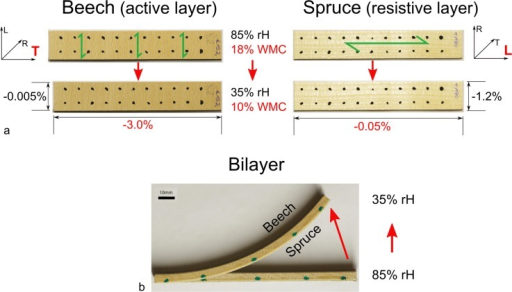 Configuration of beech strips, spruce strips and bilayers and their response to drying.a) Cutting direction of single layers of beech and spruce and their dimensional changes after a decrease in wood moisture content of 10%. L = longitudinal direction, R = radial direction, T = tangential direction; WMC = wood moisture content; rH = relative humidity; green arrows indicate fibre direction and cellulose microfibril orientation (as the microfibrils are oriented almost parallel to the fibre axis). The relative dimensional changes along the long axis of the strips are given in red (specific values for the strips shown). b) Bending of a corresponding bilayer following the change in wood moisture content.