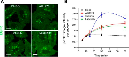 Pharmacological inhibition of EGFR kinase activity increases the meanp-EGFR amount per endosomes.(A) Representative images of HeLa EGFR BAC cells aftercontinuous stimulation with 10 ngl/ml EGF for 30 min. Inhibitors were added10 min after stimulation with EGF and remained in the medium throughout thetime course. Scale bars, 10 μm. (B) Time course of themean p-EGFR integral intensity per endosome in AG1478 (red), Gefitinib(blue), Lapatinib (green), or DMSO-treated cells (black). All curves werenormalized by the intensity value at 10 min for the mock sample.Experimental points were fitted as in Figure1. Measurements for AG1478 were done in three independentexperiments; measurements from Gefitinib and Lapatinib show a representativeexperiment with a total of ∼150 cells per time point andcondition.DOI:http://dx.doi.org/10.7554/eLife.06156.021