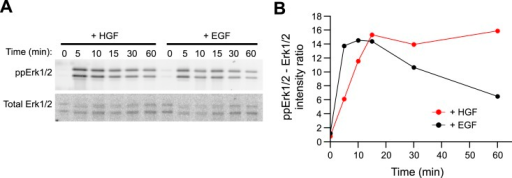 HGF triggers sustained Erk1/2 activation in primary mousehepatoblasts.(A–B) Time course of Erk1/2 phosphorylationafter continuous stimulation with 10 ng/ml HGF or EGF for the indicatedtimes in mouse primary hepatoblasts. (A) Representativephospho-Erk1/2 and Erk1/2 Western blots and (B) itsquantification for HGF (red curve) or EGF (black curve) stimulation.DOI:http://dx.doi.org/10.7554/eLife.06156.031