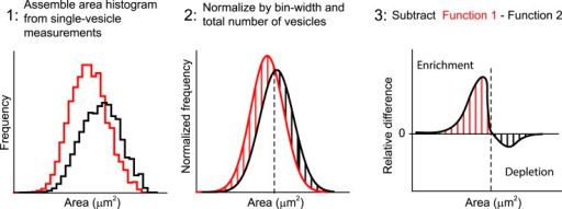 Quantification of the difference between two area distributions.The differences between two endosome area distributions are measured asfollows: (1) The binned histograms of the endosome area are built from themeasurements of individual vesicles with bins linear in a logarithmic scale.(2) The histograms are normalized on their integrals, i.e., histograms arescaled to have the sum of values in all bins equal to one. (3) The histogramfrom the control condition is subtracted from the respective histograms ofinterest. The relative enrichment (red lines) or depletion (black lines) inthe population of vesicles is calculated by the integral over a particulararea interval.DOI:http://dx.doi.org/10.7554/eLife.06156.032