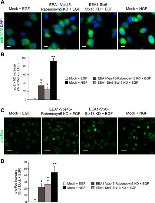 Redistribution of endosomal EGF is sufficient to increase MAPKactivation in PC12 cells.(A–D) Analysis of MAPK activation in PC12cells after partial protein depletion of either EEA1, Rabenosyn5, and Vps45or EEA1, Syntaxin-6, and Syntaxin-13, or mock treatment and stimulation with100 ng/ml EGF or 50 ng/ml NGF for 30 min (A) Representativeimages of Erk1/2 activation by immunofluorescence in PC12 cells.phospho-Erk1/2 is shown in green and nuclei are shown in blue. Scale bars,10 μm. (B) Increase in phospho-Erk1/2 intensity comparedto EGF-treated control cells. The total intensity was normalized by thefraction of the area covered by cells. (C) Representativeimages of c-Fos phosphorylation by immunofluorescence in PC12 cells.phospho-c-Fos is shown in green. Scale bar, 25 μm. (D)Increase in nuclear phospho-c-Fos intensity compared to EGF-treated controlcells. In all cases, data show mean ± SEM. For each parameter,pair-wise comparisons were done against EGF-stimulated mock-treated cells.*p < 0.05, **p < 0.005 by Fisher'sLSD test. All measurements were done in three independent experiments with atotal of ∼500 cells per condition.DOI:http://dx.doi.org/10.7554/eLife.06156.036