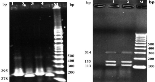 Restriction enzyme pattern of the ITS2 region of H. contortus from the sheep isolates (left, Lane 1&2) and goat (left, Lane 3&4) using HPaI represent 1 fragments of 278 bp (Lane 1&3 undigested and Lane 2&4 digested) and of H. longistipes from camel isolates (right, Lane 1&2) represent 2 fragment of 113 and 135 bp, M: DNA marker