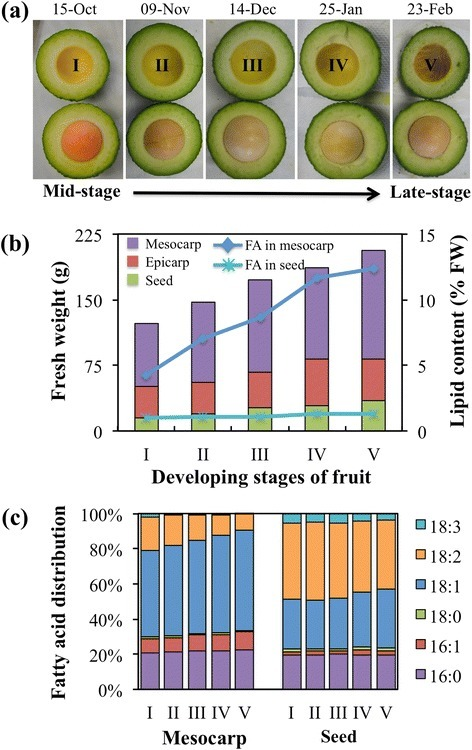 Lipid content and composition of developing fruits of avocado. a The five developing stages (I to V) of avocado fruits used for transcriptome analysis. b Fresh weight of various developing tissues with fatty acid (FA) content in mesocarp and seed. c Fatty acid composition of developing mesocarp and seed of avocado
