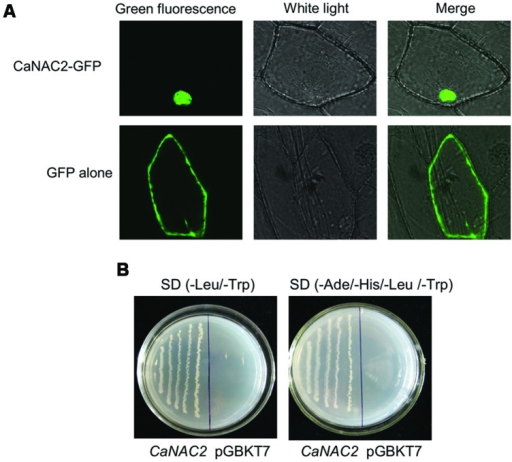 The subcellular localization and transcriptional activation analysis of pepper CaNAC2. (A) The subcellular localization of pepper CaNAC2 in onion epidermal cells. The fused pBI221-GFP-CaNAC2 and pBI221-GFP constructs were introduced into onion epidermal cells by biolistic bombardment. The GFP signals were observed under confocal microscope; (B) Transcriptional activation analysis of CaNAC2 in yeast strain AH109. CaNAC2 represents the fusion protein of the GAL4 DNA-binding domain and CaNAC2; pGBKT7 was used as control. The culture solution of the transformed yeast was streaked on SD/-Leu/-Trp medium and SD/-Ade/-His/-Leu/-Trp medium. The plates were incubated for 3 days.