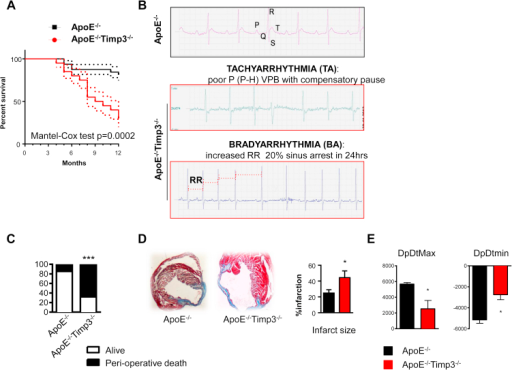 ApoE−/−TIMP3−/− animals reveal decreased lifespan, arrhythmias and susceptibility to increased cardiac stress. A) Combined retro- and prospective survival analysis in a cohort of 64 male and female mice (n = 32 for ApoE−/−TIMP3−/− M/F = 12/20 and n = 32 for ApoE−/− M/F = 12/20) over a time period of 12 months (p = 0.0002, Cox Test). B) Telemetry 24 h ECG in 32-weeks-old ApoE−/−TIMP3−/− and ApoE−/− mice. We observed a higher amount of arrhythmic episodes in ApoE−/−TIMP3−/− as well as sudden deaths in 4 out of 6 male mice during the 7-day registration (p = 0.06, Fisher's exact test). C) Increased peri-operative mortality during experimental myocardial infarction by LAD ligation in ApoE−/−TIMP3−/− (13/19) compared to ApoE−/− (3/13) (***p < 0.001 by Chi-square test). D) Representative photomicrographs of Masson-Trichrome stained hearts 4 weeks post-LAD ligation showing increased infarction size as confirmed by morphometric quantification of percent total LV circumference. Data are mean ± SEM (*p < 0.05 by Student t-test, n = 3–4 per group). E) Reduced systolic (dp/dtmax) and diastolic (dp/dtmin) heart function in ApoE−/−TIMP3−/− mice 4 weeks after LAD ligation as measured by Millar Catheter. Data are mean ± SEM (*p < 0.05 by Student t-test, n = 4–5 per group).
