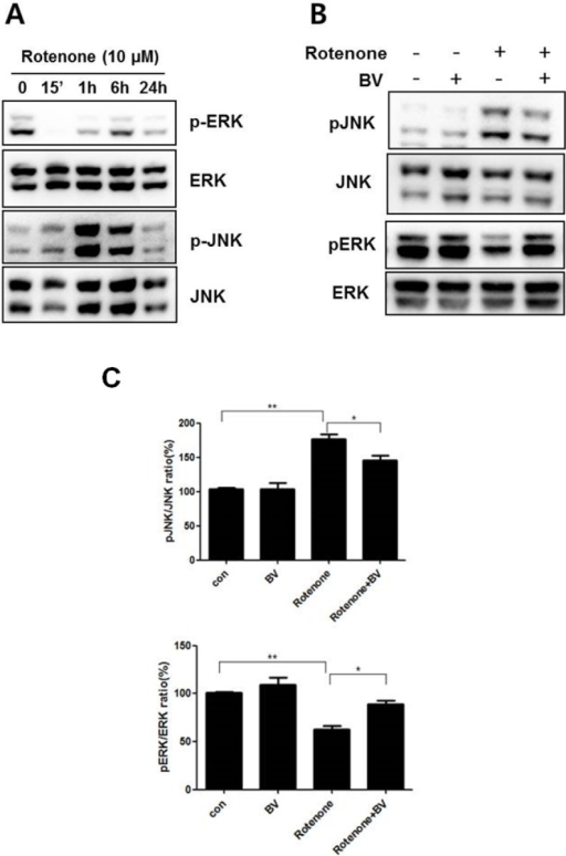 BV pretreatment regulates the activation of rotenone-mediated signaling in NSC34 neuronal cells. Effect of rotenone on the phosphorylation of the MAPK proteins ERK and JNK in NSC34 cells. (A) NSC34 cells were treated with 10 µM rotenone for the indicated time. Total cell lysates were separated with SDS-PAGE and Western blots were performed using anti-phospho JNK, anti-phospho ERK1/2, JNK, and ERK antibodies; (B) NSC34 cells were pretreated with 2.5 μg/mL BV for 24 h and then stimulated with 10 μM rotenone for 1 h in the presence or absence of BV. Western blots were performed with specific antibodies, including those for the phosphorylated forms of ERK and JNK. Total ERK and JNK were used as loading controls for the cell lysates; (C) Immune blots were quantified with the relative phospho-/nonphospho ratio. The values shown are the means ±S.E.M. of data obtained from three independent experiments. *p < 0.05, **p < 0.01.