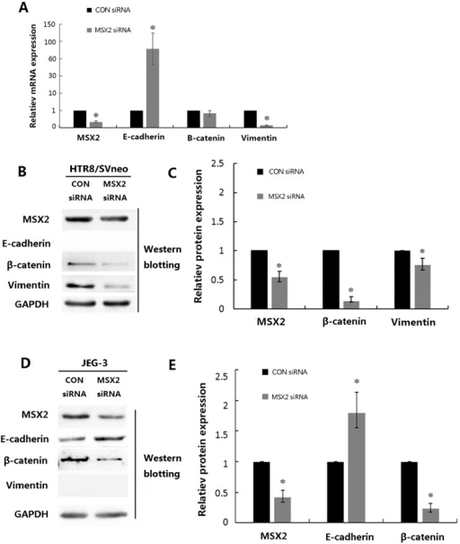 The effects of siRNA-mediated knockdown of MSX2 on EMT markers in trophoblast cell lines.(A) Statistical analysis of the mRNA expression levels of the indicated genes in HTR8/SVneo cells after transfection with the indicated siRNA molecules. (B) HTR8/SVneo cells were transfected with the indicated siRNAs and subjected to western blot analyses using the indicated antibodies. And statistical assay from three independent experiments of the results in (C) (Mann Whitney test; *P < 0.05). (D) JEG-3 cells were transfected with the indicated siRNAs and subjected to western blot analysis using the indicated antibodies. And statistical assay from three independent experiments of the results in (E) (Mann Whitney test; *P < 0.05).
