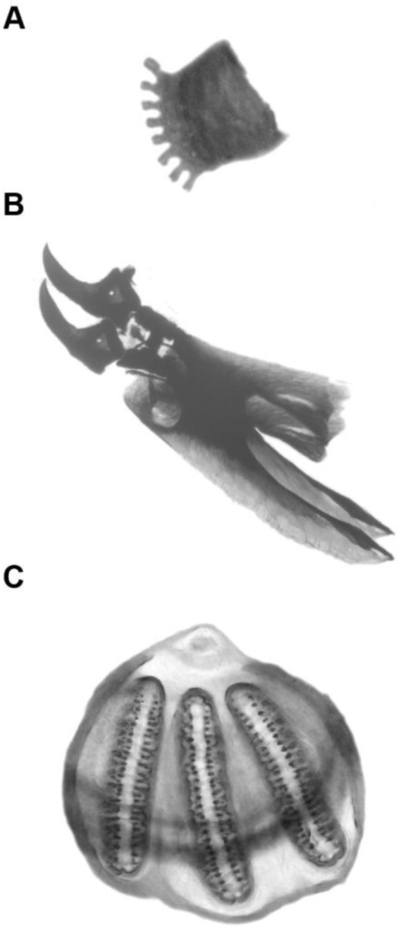 Morphological structures of anterior spiracle (A), cephalopharyngeal skeleton (B) and posterior spiracle (C) of third instar larva of L. sericata