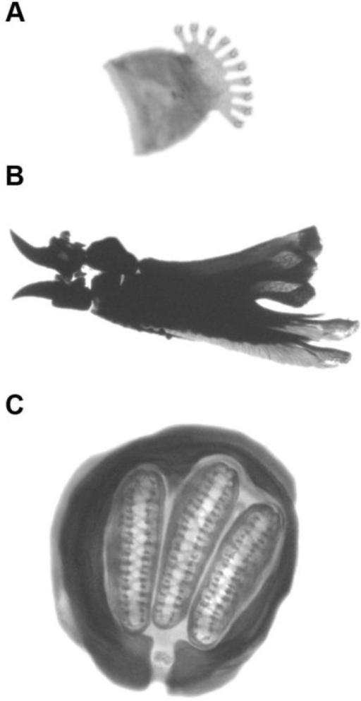 Morphological structures of anterior spiracle (A), cephalopharyngeal skeleton (B) and posterior spiracle (C) of third instar larva of C. albiceps