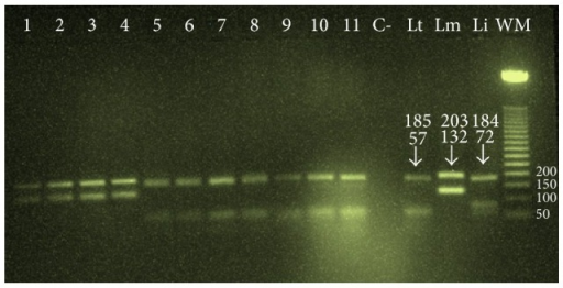 Agarose gel electrophoresis analysis of ITS1-PCR-RFLP amplified products from different slides collected, lanes 1–4 (L. major detected in the samples 2010), and lanes 5–11 (L. tropica detected in the samples 2014), C: negative control, Lt: L. tropica, Lm: L. major, Li: L. infantum, and WM: weight marker (50 pb).