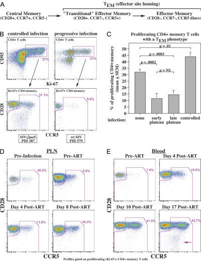 Effect of infection on CD4+ TEM cell differentiation from proliferating TCM cell precursors. (A) Schema of memory T cell differentiation in RMs (18). (B) The top profiles show CD4+ T cells from one RM with attenuated SIVmac239(Δnef) infection (PID 387; pvl = 5,200 copies/ml) and one with progressive SIVmac239 infection (PID 579; pvl = 3,800,000 copies/ml), indicating the gating of proliferating (Ki-67+) CD4+ memory T cells. The bottom profiles show the representation of TCM cells (CD28+; CCR5−) versus total TEM cells (including CD28+, CCR5+ transitional TEM cells, and CD28−/CCR5dim+ mature TEM cells) within the proliferating CD4+ memory compartment. (C) The figure shows cross-sectional analysis of the fractional representation of total TEM cells (as in A) in 10 SIV− RMs, 7 RMs with early plateau-phase SIVmac239 infection (PID 105; median pvl = 5,300,000 copies/ml), 8 RMs with late plateau-phase SIVmac239 infection (PID 533–878; median pvl = 660,000 copies/ml), and 12 RMs with controlled SIV infection: 9 infected with SIVmac239(Δnef) (PID 154–390; pvls < 400 copies/ml) and 3 spontaneous controllers of SIVmac239 (PID 105–147: pvls < 4,000 copies/ml). Differences were assessed by unpaired t test. (D) The profiles show the fractional representation of TEM cells among proliferating (Ki-67+) CD4+ memory T cells from PLNs from an RM 5 d before SIVmac239 infection, at PID 150 (immediately before ART; pvl = 4,400,000 copies/ml), and at 4 (pvl = 180,000) and 8 d (pvl = 87,000) after ART initiation. (E) The profiles show the fractional representation of TEM cells among proliferating (Ki-67+) CD4+ memory T cells from the blood of an SIVmac239-infected RM at PID 105 (immediately before ART; pvl = 3,000,000 copies/ml) and days 4 (pvl = 220,000 copies/ml), 10 (pvl = 170,000 copies/ml), and 17 (pvl = 24,000 copies/ml) after ART. The arrow indicates the development of a fully mature CD4+ TEM cell population.