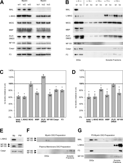 Alterations in myelin and raft component incorporation in mal KO mice. (A) Western blot analysis of myelin proteins from 4-mo-old WT and KO mice. Brain myelin from three animals of each genotype. Note besides the absence of MAL in KO mice, reduced protein levels of L-MAG, MBP, NF155, and Caspr in the mutants. (B) Western blot analysis of myelin DIG preparations. CHAPS extraction and sucrose step gradient ultracentrifugation from myelin preparations (12 collected gradient fractions). Fraction 1–5: low density (5% sucrose, not depicted); fraction 6: 5%/30% sucrose transition zone with the floating DIGs, fractions 7–10 contain ∼30% sucrose (7–8 not depicted), and fraction 11 and 12 contain the detergent-soluble proteins in 40% sucrose. Quantification of myelin proteins in myelin (C) and myelin DIG (D) preparations from KO mice. The relative protein levels in brain myelin (A) and in CHAPS-insoluble fraction 6 (B) were quantified. Values express the percentage of protein in KO compared with WT samples (*, P < 0.05). (E) Western blots of L-MAG, Caspr, and both NF isoforms 155 and 186 in myelin and plasma membrane preparations of 4-mo-old WT mouse brain. (F) CHAPS extraction and sucrose step gradient ultracentrifugation from myelin and plasma membranes of WT mice. (G) CHAPS extraction and sucrose step gradient ultracentrifugation from brain myelin preparation of P9 WT mice. In contrast to contactin/F3, L-MAG and NF155 are localized in the soluble fractions. Note that at this developmental stage the extent of myelination differs significantly between brain regions; small amounts of MAL were detectable in the lower brainstem.