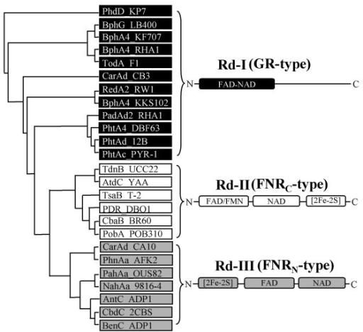 Grouping of reductase components from 25 standard RHO enzymes with schematic representation of the conserved domain structures. The names of bacterial strains are indicated after the enzyme names. GR-type, FNRC-type, and FNRN-type reductases are shown in the boxes with black, gray, and white background, respectively. Designations: FAD-Flavin adenine dinucleotide; NAD-Nicotinamide adenine dinucleotide.