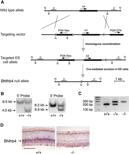 Mutagenesis of the mouse Bhlhb4 gene. A: Gene targeting strategy showing partial restriction map of WT Bhlhb4 allele, the targeting vector, the targeted ES cell allele, and the Bhlhb4  allele. The Bhlhb4 gene (which is a single exon gene), the PGK-neomycin cassette, and the PGK-diptheria toxin cassette are represented by rectangles; the arrows represent open reading frames, and the triangles represent loxP sites. Thin lines show the positions of 5′ and 3′ probes used in Southern blotting analysis. BsmI restriction sites (B), used for screening for integration by homologous recombination from the 5′ side of the gene, and NheI restriction sites (N), used for screening from the 3′ side, are indicated. B: Southern blot analysis of ES cells. Genomic DNA was digested with either BsmI or NheI, and Southern blots were analyzed by using either the 5′ or the 3′ probe, respectively. Fragment sizes for WT (+/+) and targeted (−/+) DNA are indicated. C: PCR genotyping from mouse tail DNA from WT (+/+), heterozygous (−/+), and Bhlhb4- (−/−) animals. WT allele, 216 bp; Bhlhb4- allele, 299 bp. D: RNA in situ hybridization for Bhlhb4 RNA. Retinal sections from P21 WT (+/+) and Bhlhb4- (−/−) mice are shown. Scale bar = 100 μm in D.