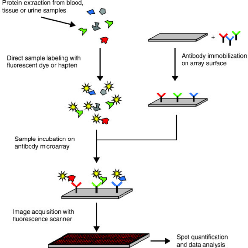 Schematic diagram of the basic processes of analyzing protein extracts on antibody microarrays. Although many details such as the binder type, the protein labeling, the surface structure of the solid support or the detection procedure may change considerably, the principal components and steps of the assay remain the same.