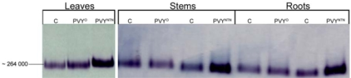 Detection of NADP-ME in 10% polyacrylamide gel after non-denaturating electrophoresis. Control (marked as C), PVYO and PVYNTN infected leaves, stems and roots of Nicotiana tabacum L. plants were analysed. Samples were collected at the maximal symptoms occurrence (11th day after PVYO inoculation and 13th day after PVYNTN inoculation).