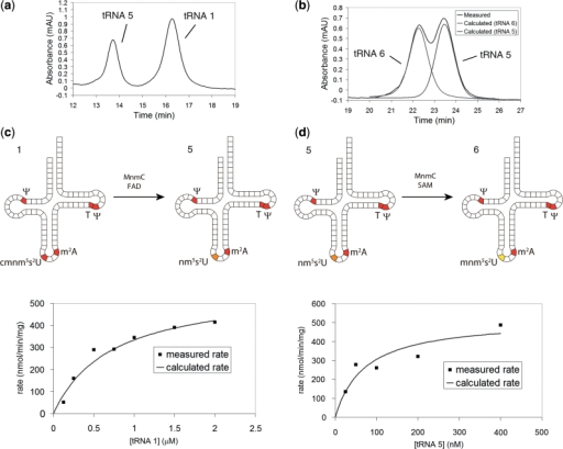 HPLCs and Michaelis–Menten plots for each MnmC catalysed reaction. (a) Representative HPLC showing complete separation of tRNA 1 from tRNA 5. HPLC gradient: 100 mM Tris, 50 mM MgCl2, 175 → 180 mM NaCl over 1 → 20 min. (b) Representative HPLC showing partial separation of tRNA 5 from tRNA 6, and calculated peaks for each tRNA. HPLC gradient: 100 mM Tris, 50 mM MgCl2, 160 → 165 mM NaCl over 1 → 30 min. (c) Michaelis–Menten plot for the FAD-dependent cmnm5s2U → nm5s2U demodification. (d) Michaelis–Menten plot for the SAM-dependent nm5s2U → mnm5s2U methylation. Rates in (c) and (d) represent the amount of substrate formed in a 40 µl reaction per minute per milligram enzyme.