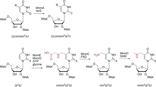 Biosynthesis of mnm5(s2)U in tRNA. X = O (in U) or S (in s2U), R = cmnm5, nm5 or mnm5. Modified positions are coloured in red.