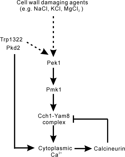 A cartoon figure illustrating a molecular mechanism of Ca2+ signaling.The cell wall damaging agents (e.g. NaCl, KCl, MgCl2) activate the cell wall integrity MAPK Pmk1, then the activated Pmk1 phosphorylates Cch1, resulting in the opening of the Cch1-Yam8 channel and in Ca2+ influx. In the absence of FK506, the increase in the cytoplasmic Ca2+ level activates calcineurin, which in turn dephosphorylates Cch1, resulting in the closing of the channel. In the presence of FK506, calcineurin is inhibited, thus resulting in the persistent opening of the Cch1-Yam8 channels. Trp1322 and Pkd2 directly regulates calcium influx, and also may crosstalk with other components of the Pmk1 MAPK pathway upstream of Pek1, thus indirectly affecting the Cch1-Yam8 complex upon NaCl plus FK506 stimulation.