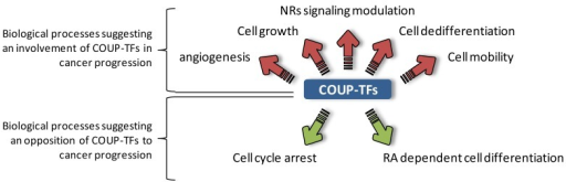 Principal biological processes controlled by COUP-TFs during embryogenesis that suggest a role of these factors during cancer progression. Biological processes that could promote cancer progression are linked by red arrows, while those that could promote regression of cancer are connected by green arrows. During embryonic development, COUP-TFs are key regulators of various processes that are also linked to cancer progression. Several downstream targets of these factors are connected to angiogenesis, cell growth or mobility which could be linked to cancer cell growth and metastatic potential. Moreover, both COUP-TFs are able to interfere with nuclear receptor signaling which are known to play critical roles during hormone-dependent cancers development. On the other hand, depending on the circumstance, COUP-TFs also control some biological aspects that could be associated with cancer regression. These orphan NRs were reported to control cell cycle arrest to support neuronal differentiation, or to contribute to RA dependent differentiation. NRs, nuclear receptors; RA, retinoic acid.