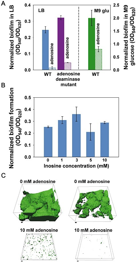 Normalized biofilm formation with adenosine and inosine. A and B. Total biofilm formation was assayed at 37°C after 24 h in 96‐well plates without shaking with 10 mM adenosine in LB and M9 glucose media (A) and with 0, 1, 3, 5 and 10 mM inosine in LB medium (B). Six wells were used for each strain. To remove growth effects, biofilm formation was normalized by dividing total biofilm by the turbidity at 620 nm for each strain. C. Biofilm formation at 37°C after 6 days in 5% LB with 0 and 10 mM adenosine in flow cells. Two representative IMARIS images of each condition are shown. Scale bars represent 10 µm. Data are from two independent experiments.