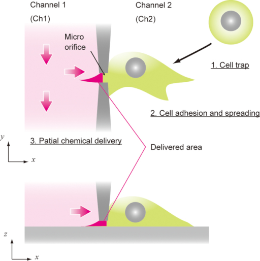 Concept of subcellular chemical delivery.The two microchannels are separated by a thin vertical wall with a lateral micro-orifice smaller than the size of the target cell. The cells are applied to microchannel Ch2; one of them is trapped at the micro-orifice by the flow through it (1. cell trap) and is then allowed to spread on the substrate to seal the orifice (2. cell adhesion and spreading). The chemical substances are applied to the microchannel (Ch1) and delivered to a limited area of the cell surface (3. subcellular delivery). The cellular responses are observed by optical microscopy.