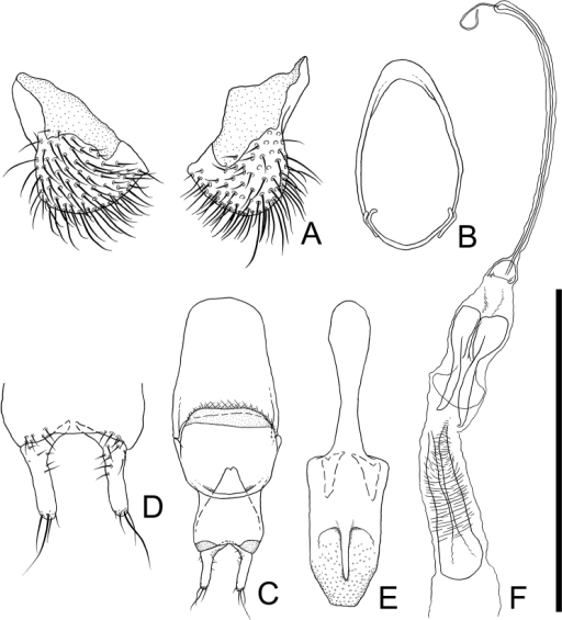 Male genital organs of Cryptamorpha sculptifrons Reitter, 1889, lectotype, male. A 8th sternite, ventral view B 9th sternite C phallobase, dorsal view D parameres, ventral view E penis, dorsal view F internal sac, dorsal view. Scale: 0.5 mm for A, D and 1.0 mm for B, C, E, F.