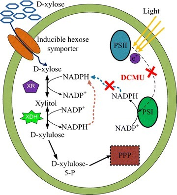 Proposed D-xylose metabolic pathway in the green microalgaC. sorokiniana. D-xylose is transported across the cell membrane through the inducible hexose symporter. The uptake of D-xylose activates the expression of NADPH-linked XR and NADP + -linked XDH, which converts D-xylose to D-xylulose and enters the PPP pathway after catalyzing to D-xylulose 5-P. NADPH generated during the first stage of photosynthesis from light energy serves as the coenzyme for D-xylose metabolism. DCMU negatively affects the improvement of D-xylose catabolism from the light-dependent reaction by blocking electron flow from photosystem II (PSII) to photosystem I (PSI) and inhibiting NADPH production.